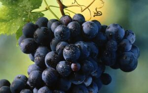 The healthiest wine to drink is... A bunch of grapes from a vine