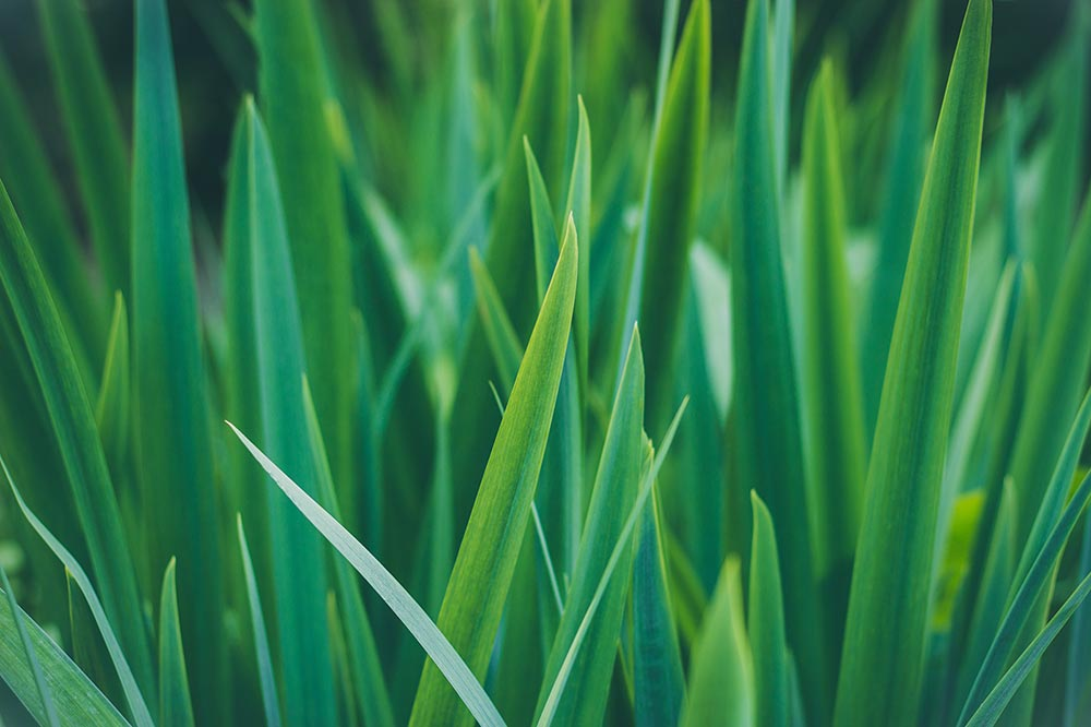 The simple health and fitness benefits of wheatgrass. The early stages of wheatgrass growing.