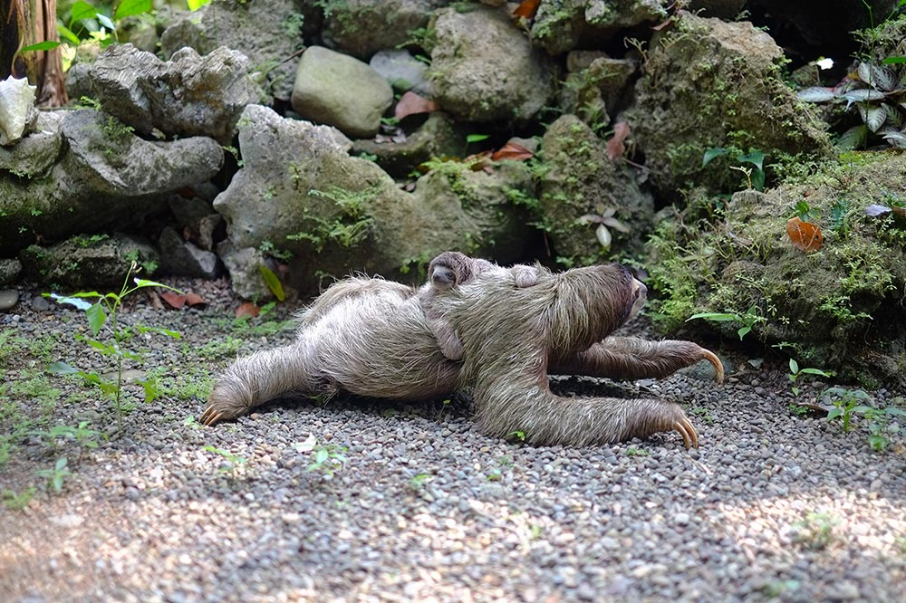 The benefits of Slow reps vs fast reps. A sloth creeps through the forest with a baby on its back