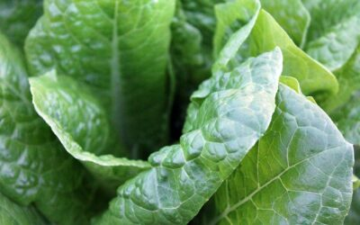 Eat greens daily to reduce risk of diabetes and protect your heart