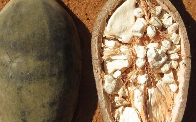 The health benefits of eating the baobab fruit