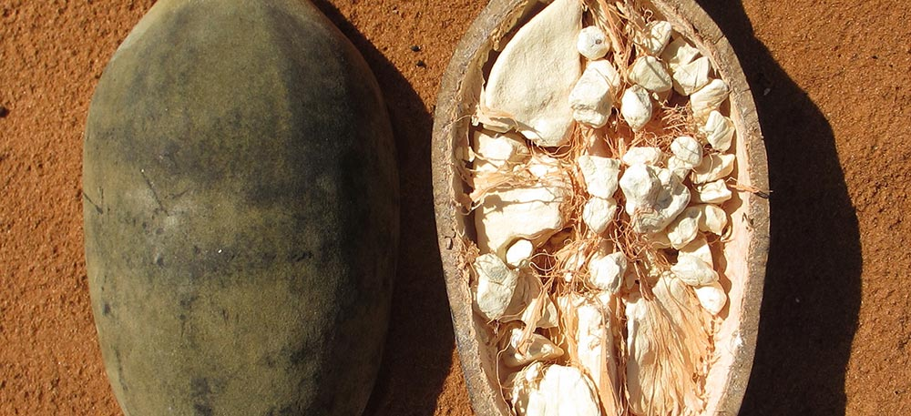 The health benefits of eating the baobab fruit. A baobab fruit lies cut half open on a table