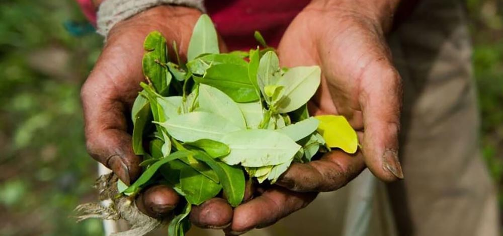 The benefits of chewing Chew Coca leaves. Hands holding cocoa leaves in Peru