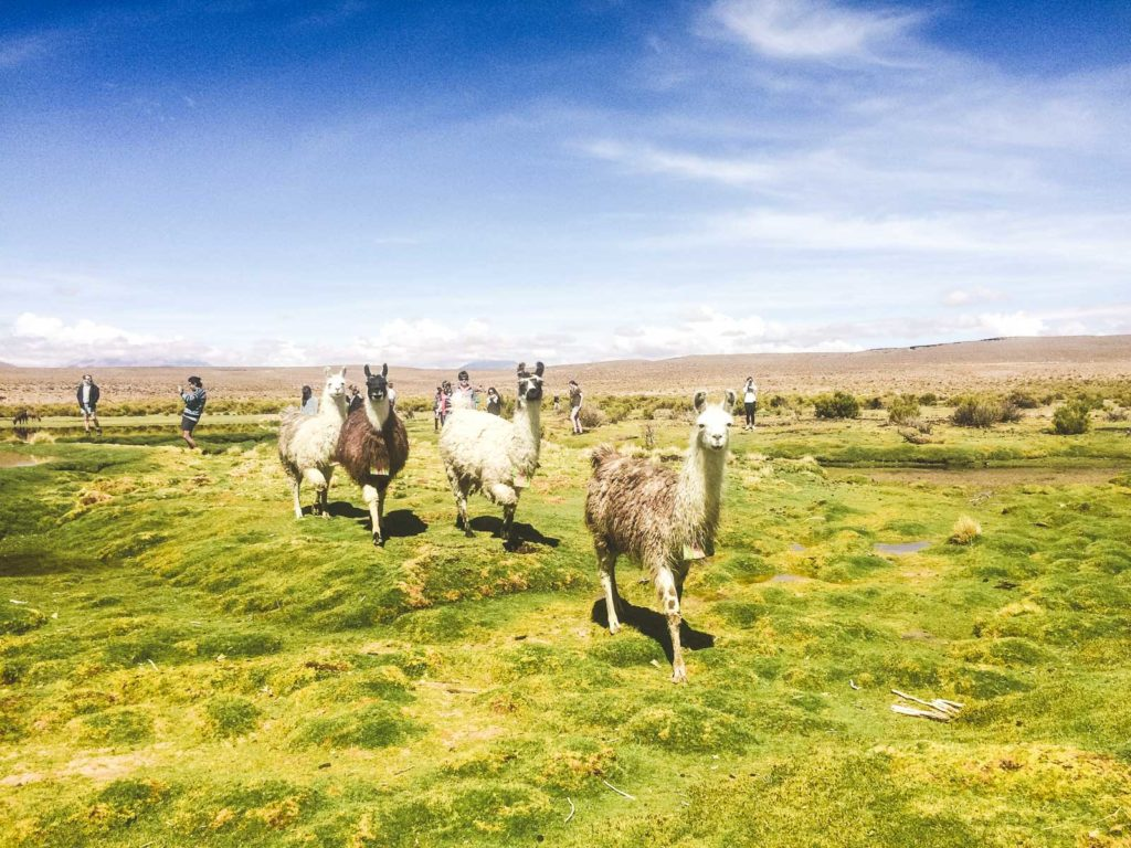 Backpacking the Salt Flats? Here's some useful tips. Llamas walk in front of the camera out in the desert across lush green area